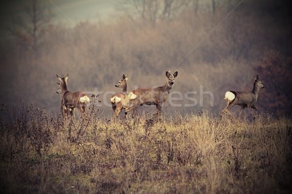 beautiful image with roe deers Stock photo © taviphoto