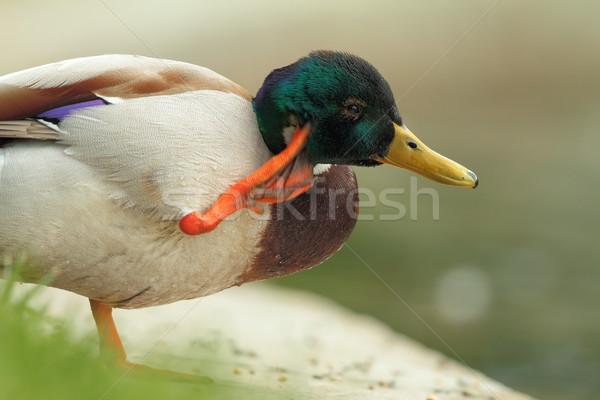 mallard drake close up Stock photo © taviphoto