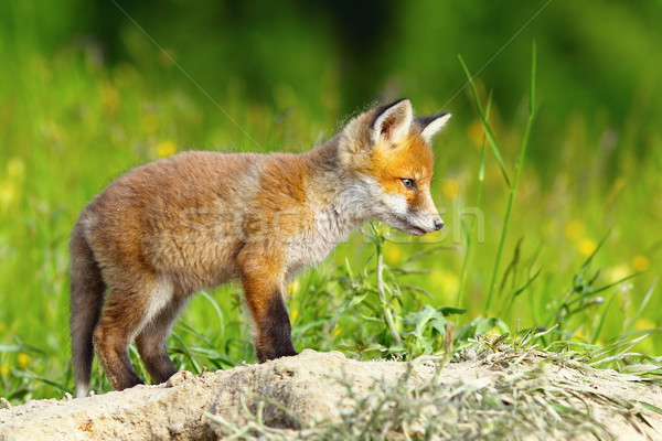 young european fox Stock photo © taviphoto