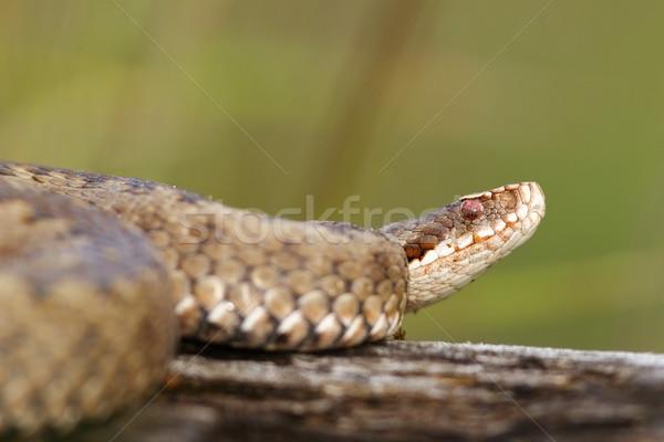 close up of female  Vipera berus Stock photo © taviphoto