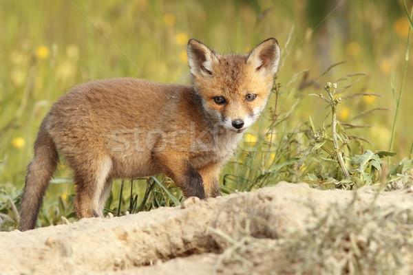 Jovem europeu raposa bebê floresta Foto stock © taviphoto