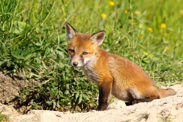 cute european wild fox cub Stock photo © taviphoto