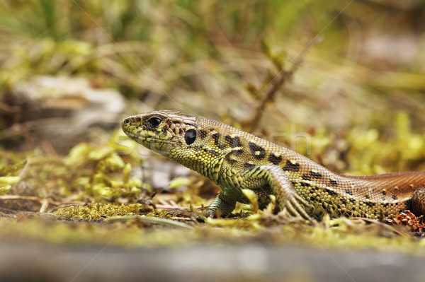 природного среда обитания европейский песок ящерицы Сток-фото © taviphoto