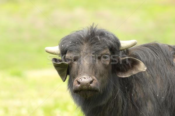 juvenile domestic black bull portrait Stock photo © taviphoto