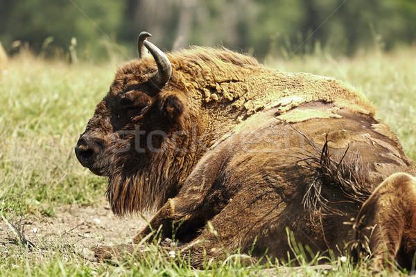 large european bison Stock photo © taviphoto