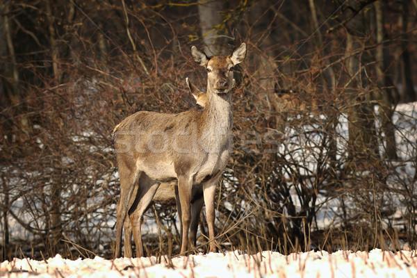 любопытный женщины красный оленей камеры Сток-фото © taviphoto