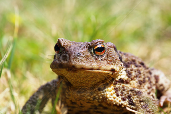 portrait of ugly toad Stock photo © taviphoto
