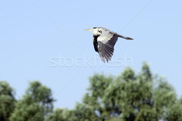 Grijs reiger vlucht vliegen donau delta Stockfoto © taviphoto