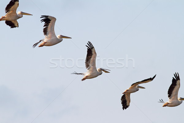 interesting formation of great pelicans Stock photo © taviphoto