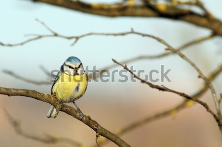 great tit on a branch in winter Stock photo © taviphoto