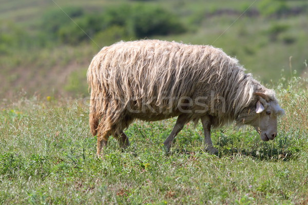 sheep grazing on green meadow Stock photo © taviphoto