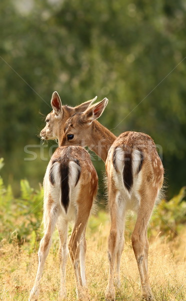 deer brothers Stock photo © taviphoto