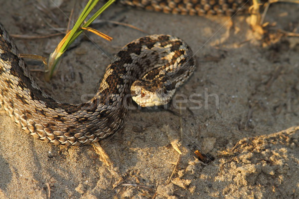 moldavian meadow viper Stock photo © taviphoto