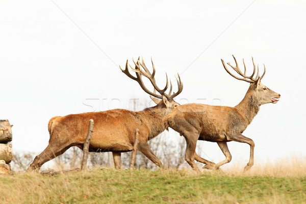 beautiful red deer bucks running Stock photo © taviphoto