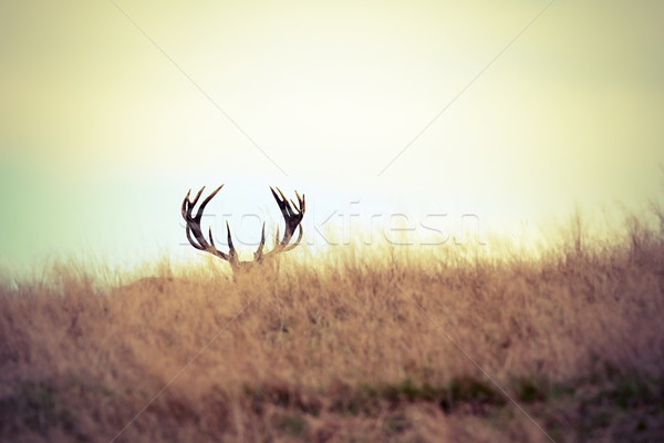 red deer buck hiding Stock photo © taviphoto