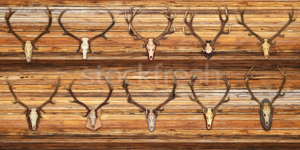 collection of red deer trophies on wood background Stock photo © taviphoto