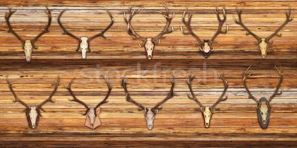 Coleção vermelho veado troféus madeira parede Foto stock © taviphoto