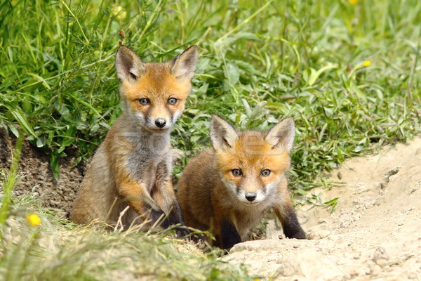two fox cubs at the entrance of the den Stock photo © taviphoto