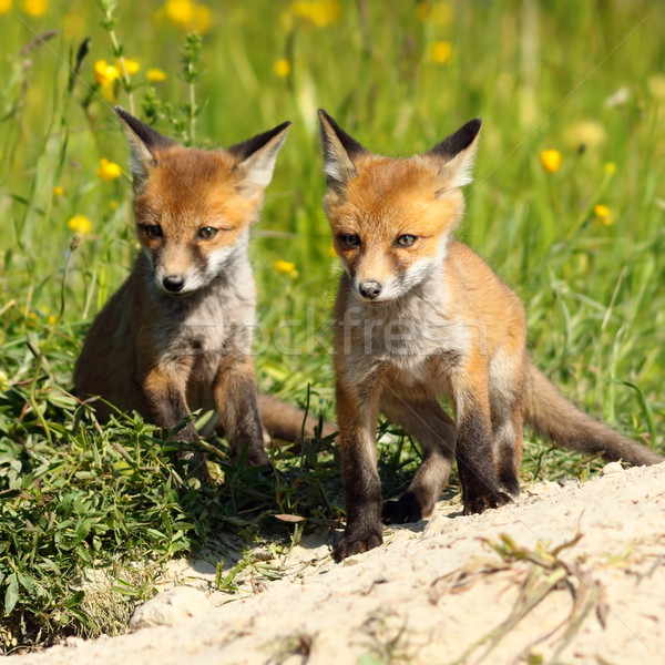 two red fox brothers near the burrow Stock photo © taviphoto