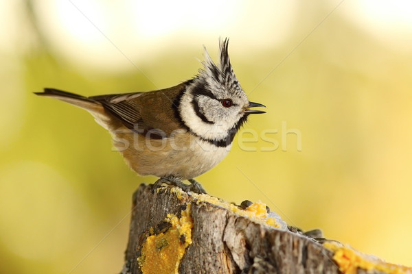 funny crested tit at garden bird feeder Stock photo © taviphoto