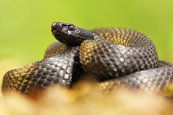 melanistic nikolskii adder closeup Stock photo © taviphoto