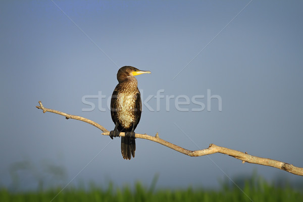 great cormorant perched on branch in natural habitat Stock photo © taviphoto