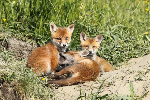 family of young red foxes Stock photo © taviphoto