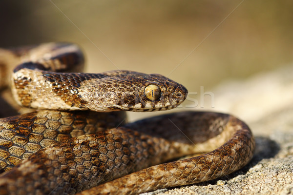 portrait of juvenile cat snake Stock photo © taviphoto