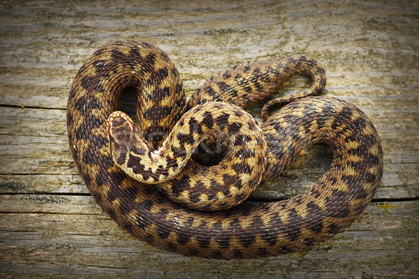 full length common adder basking on stump Stock photo © taviphoto