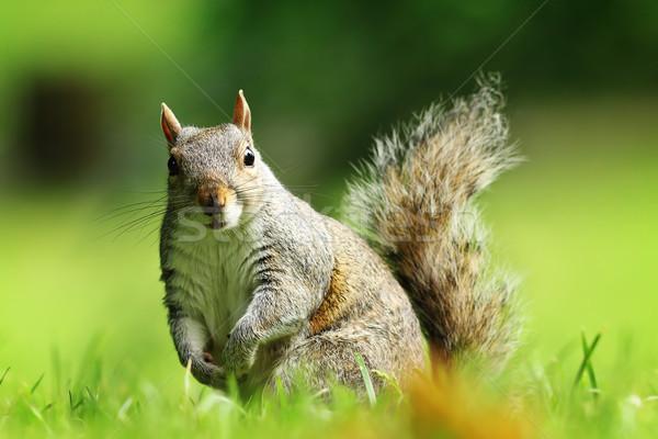 curious gray squirrel looking at camera Stock photo © taviphoto
