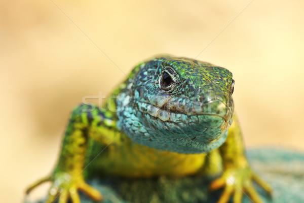front view on Lacerta viridis male Stock photo © taviphoto