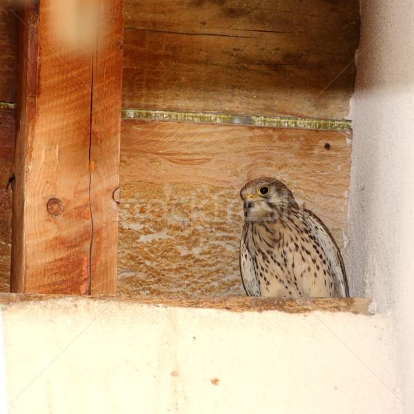 Juvenil em pé ninho madeira telhado assistindo Foto stock © taviphoto