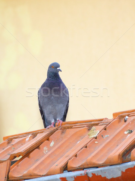 single pigeon Stock photo © taviphoto