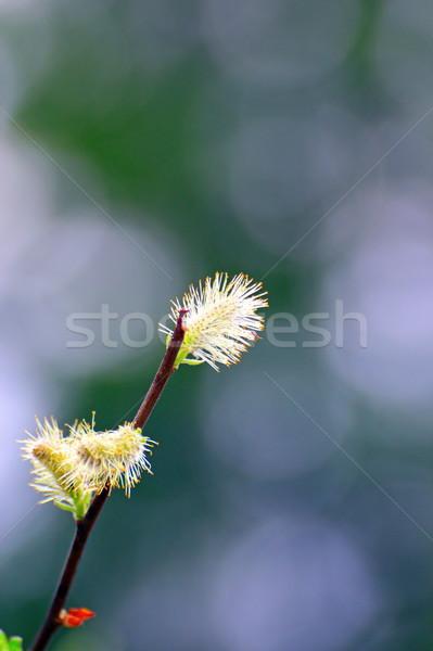 Sauce primer plano temprano primavera Pascua árbol Foto stock © taviphoto
