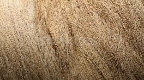 bactrian camel textured fur Stock photo © taviphoto