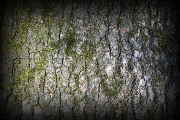 pine bark covered with green moss Stock photo © taviphoto