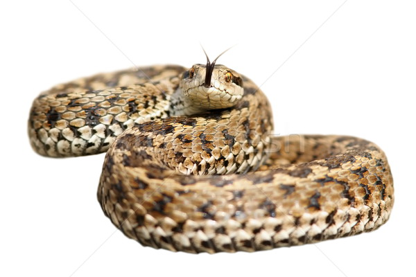 isolated venomous snake ready to attack Stock photo © taviphoto