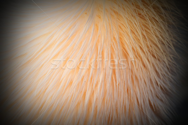 details on great pelican feathers Stock photo © taviphoto