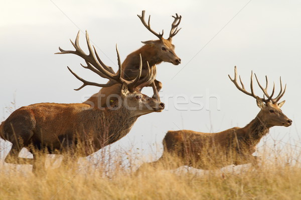 red deers on the run Stock photo © taviphoto