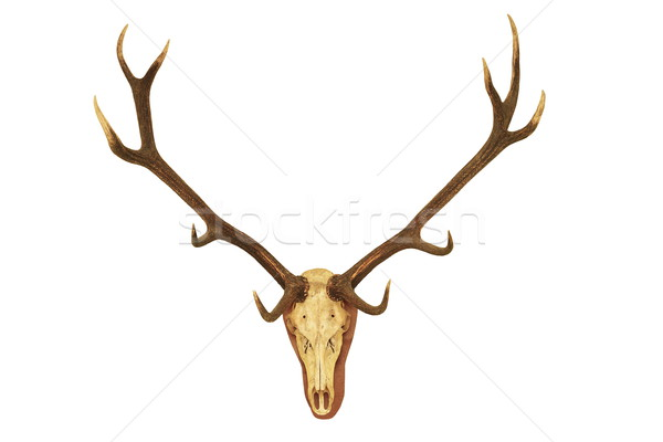 big stag hunting trophy Stock photo © taviphoto