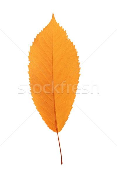 Stock photo: reddish cherry leaf over white