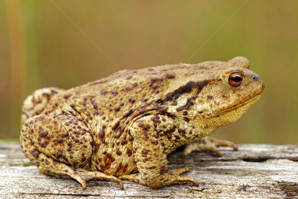 коричневый жаба трава лягушка животного Сток-фото © taviphoto