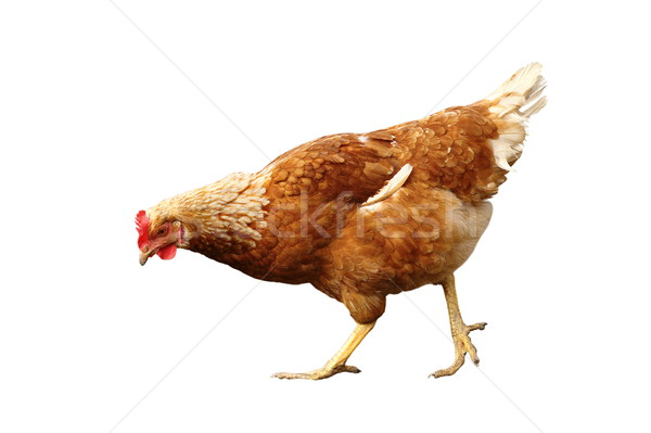 isolated young hen Stock photo © taviphoto