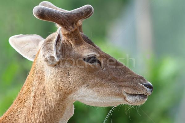 肖像 小さな 鹿 バック 緑 ぼやけた ストックフォト © taviphoto