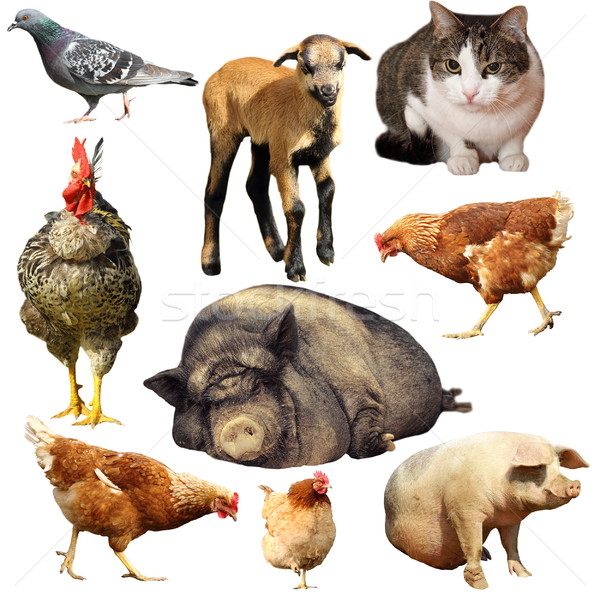 collection of domestic animals Stock photo © taviphoto