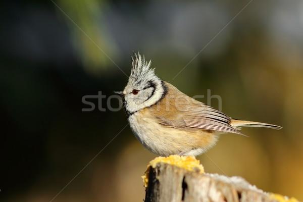 Stock photo: beautiful crested tit