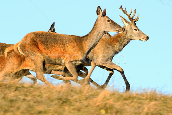 red deers running on top of the hill Stock photo © taviphoto