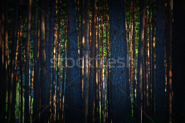 abstract view of dawn in pine forest Stock photo © taviphoto