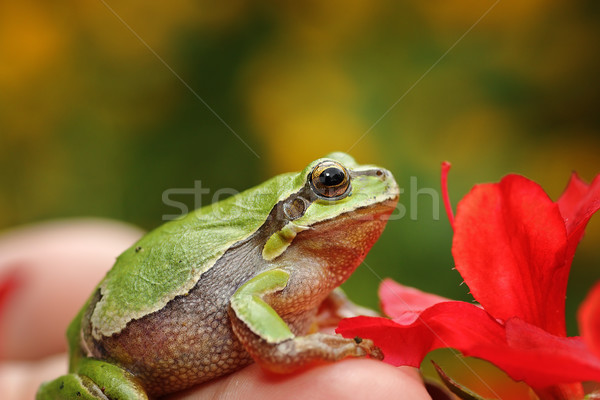 cute green tree frog in spring setting Stock photo © taviphoto