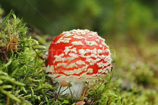 colorful fly amanita Stock photo © taviphoto